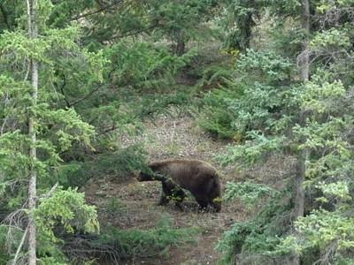 דוב גריזלי!