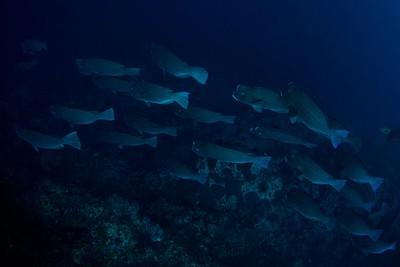 להקת Bumphead parrotfish ענקית