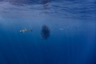 כריש Grey reef ו- baitball בים פתוח