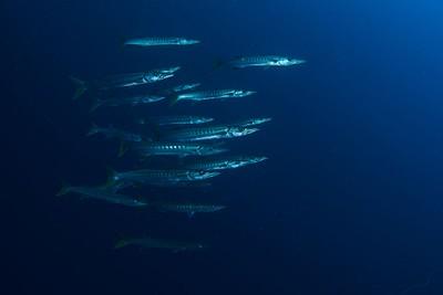 להקת Pickhandle barracuda
