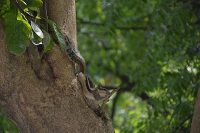 סנאי 5 פסים נפוץ מאוד באיזור זה של הודו