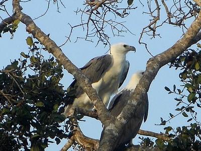 (White Bellied Sea Eagle (Haliaeetus leucogaster בשמורת בונדלה