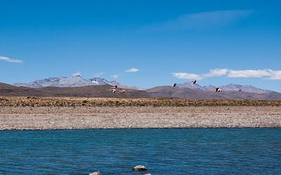 להקת פלמינגו באגם