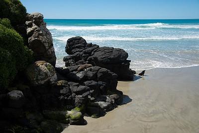 בקצה החוף חיים כלבי ים