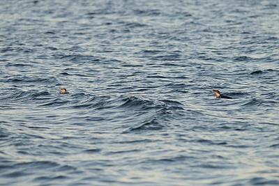 להקות גדולות של פינגווינים שוחים רואים בקלות ומקרוב בנקודת ה- Fisherman