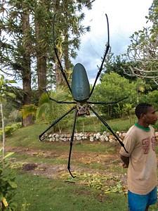 תסתכלו לאן אתם הולכים! Golden Orb Web Spider, Wau.