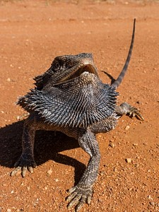 Bearded Dragon Lizard, מרכז אוסטרליה.