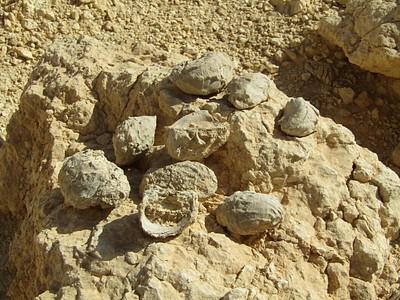 מאובנים (אקסוגירות) שמישהו הניח על סלע במעלה צורים. בזכותו שמתי לב אליהם ולעוד עשרות מאובנים שפזורים במקום.
