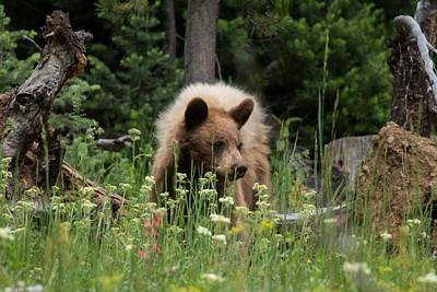 Black Bear גור. כ-50% מהדובים השחורים בכלל עם פרווה חומה