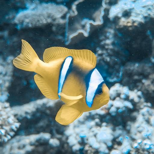 שוב רואים הרבה מיני דגים, כמו דג הליצן הזה