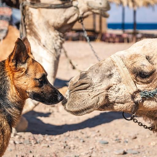 גמל וכלב מקומי מתיידדים