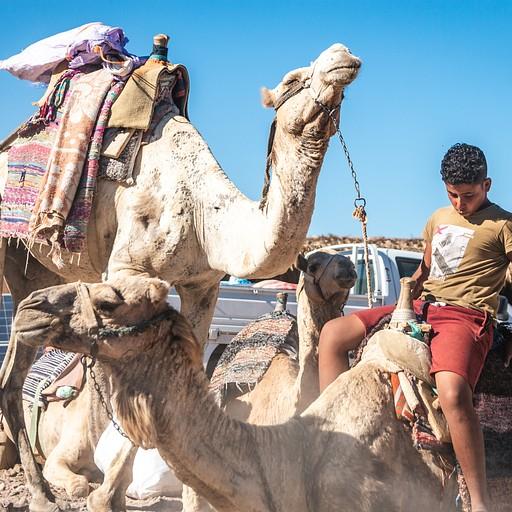 נער בדואי מעמיס את הגמלים של המשפחה