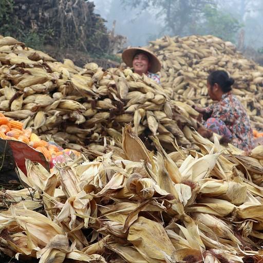 שורפים תירס באחד הכפרים