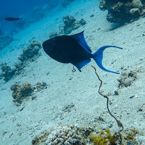 דג טריגר כחול