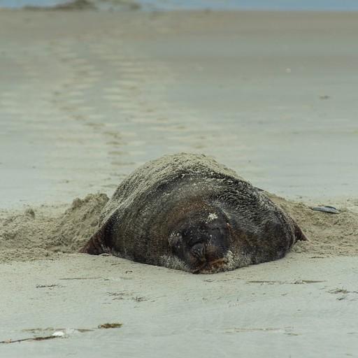 מרוח על החול, צובר לו שומן