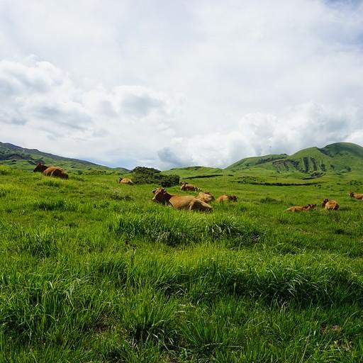 פרות על הר אסו