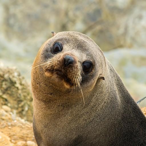 כלב ים שהחליט שאנחנו מסקרנים אותו בshag point