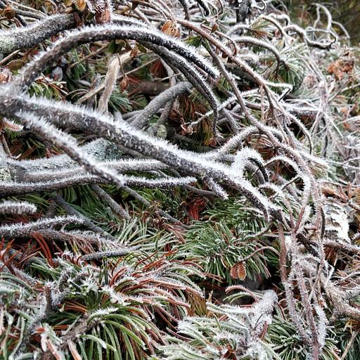 ענפים שצמחו מהם דוקרני קרח במהלך המסלול