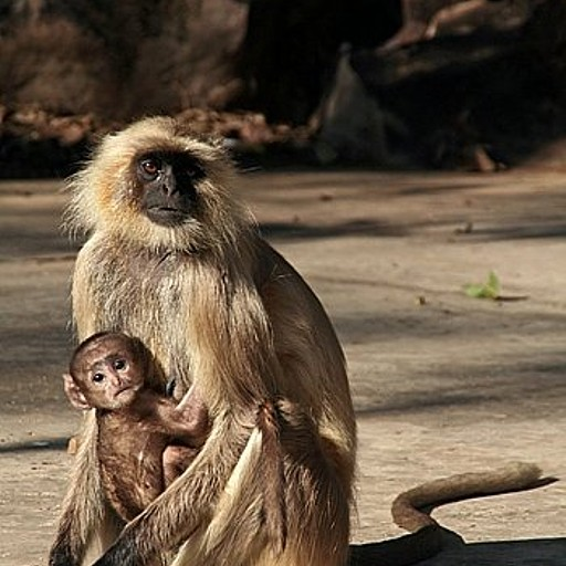 קופי לנגור, נפוצים בכל הודו.