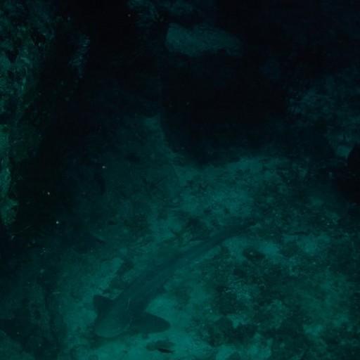 כריש נח בעומק 35 מטרים על הקרקעית