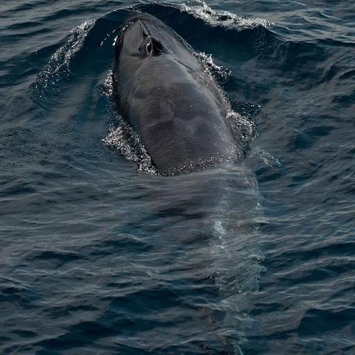 לוויתן - צולם מהסירה כדי לא להבריח אותם