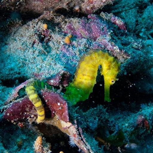 סוסון ים בעומק 32 מטרים בסלע רישלייה