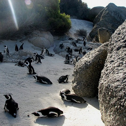 מושבת הפנגווינים בסימון טאון