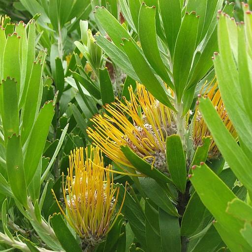 Protea Cynaroides. הפרח הלאומי של דרום אפריקה