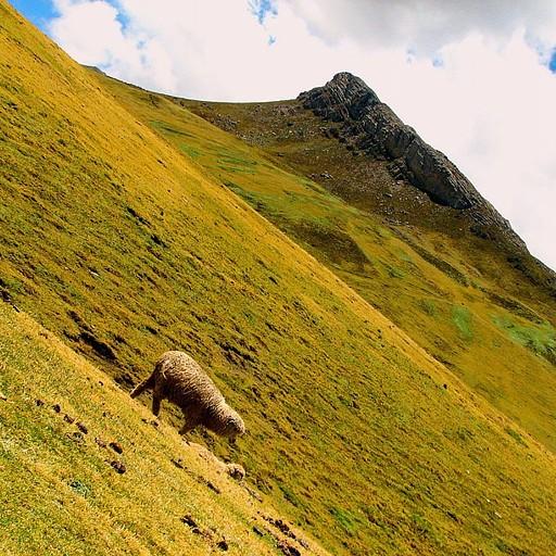 כבש מפסוט