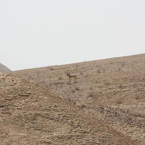 פרא במדבר