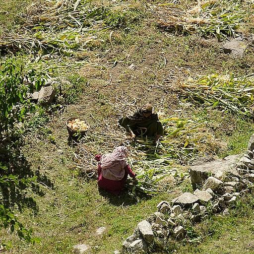 בכפר נארנג מגדלים בעיקר תירס
