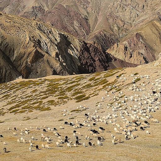 עדר כבשי פשמינה עולה מהוואדי בו נקודת הלינה על פי המפה