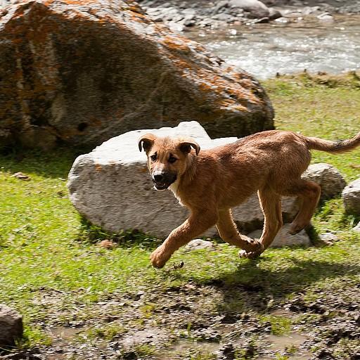 כלבי רועים