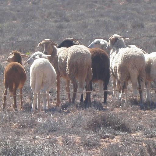 כבשי בר עם זנב ארוך בדרך לחופים