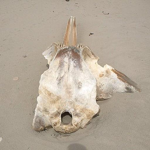 שלדים של חיות ימיות שנסחפים אל החוף - דבר שכיח בחופים המערביים של האי