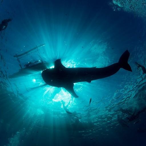 כריש לוויתן ועדר משנרקלים מקיפים אותו