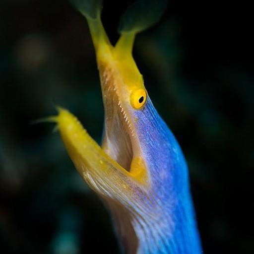 Ribbon Eel. הזכרים כחולים, הנקבות צהובות והצעירים שחורים עם פס צהוב