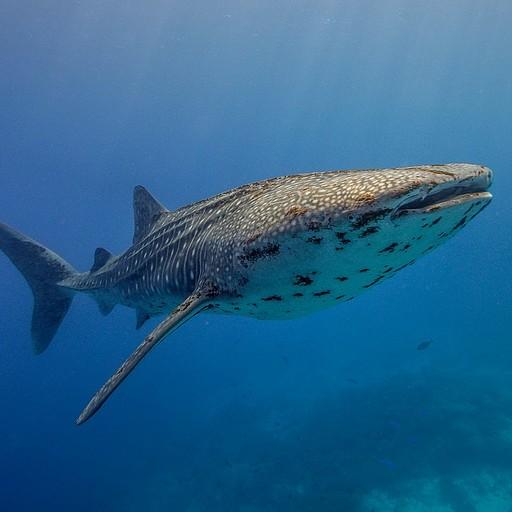 כריש לוויתן - הגיע בתחילת הצלילה ושחה בעומק 10 מטרים. שחינו איתו 25 דק׳!