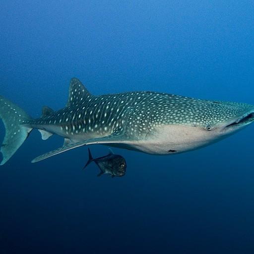 כריש לוויתן נוסף, קטן יותר ועמוק יותר שוחה עם ג׳ק פיש גדול