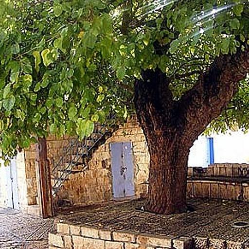 עץ התות ליד המעיין במרכז הכפר