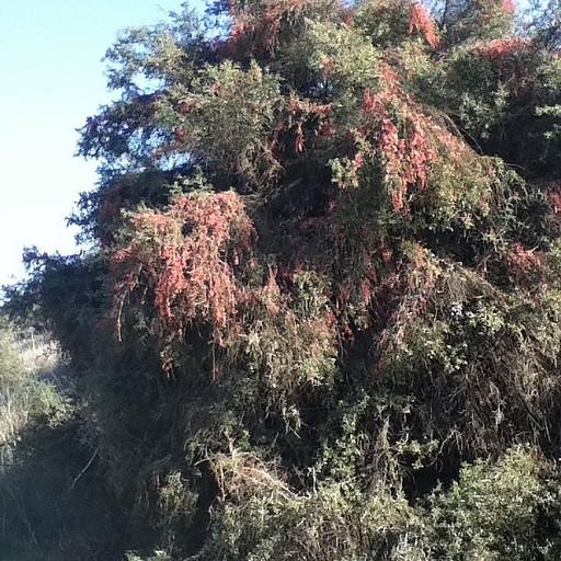 עץ ועליו מטפס אדמדם בשם שרביטן
