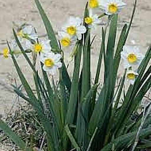 הנרקיסים בפריחה