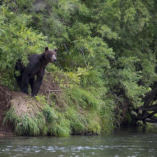 הדוב הענק שהפחיד את סרגיי