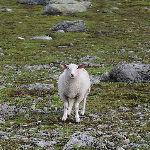 הכבשים שמחכות לעוברים ושבים