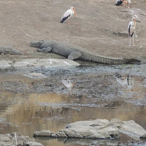 יש תנינים כמעט בכל מקוה מים, רק צריך לדעת למצוא אותם..