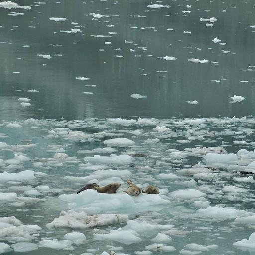 כלבי ים משתזפים מול קרחון John Hopkins