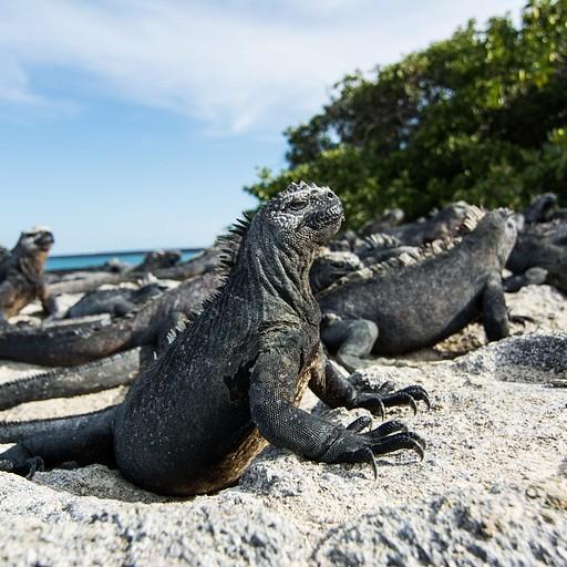 Marine iguana, פרדיננדה