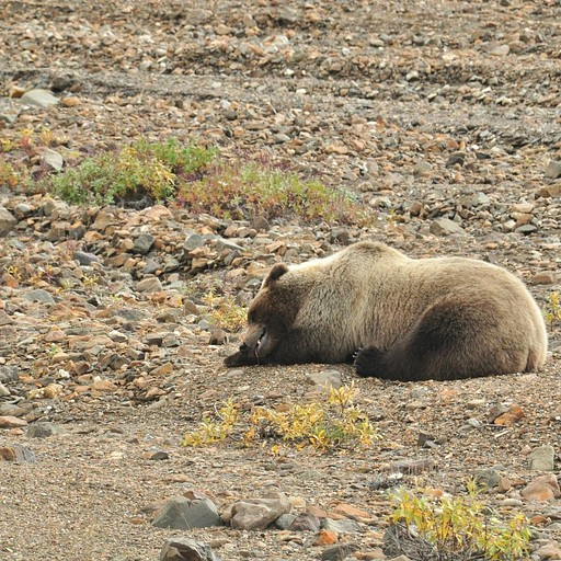 ראינו דוב גריזלי מנמנם בנסיעה בדרך לאיילסון