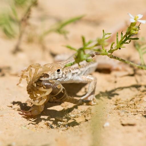 לטאה מסוג מדברית עינונית טורפת עקרב צהוב