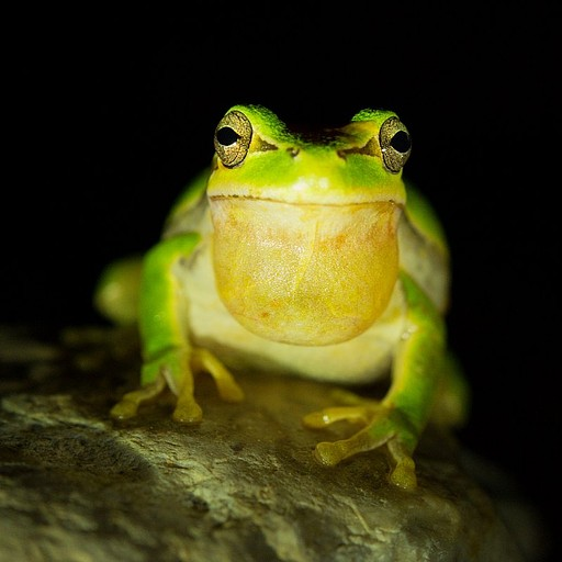 בלילה הצפרדעים יצאו לנהר